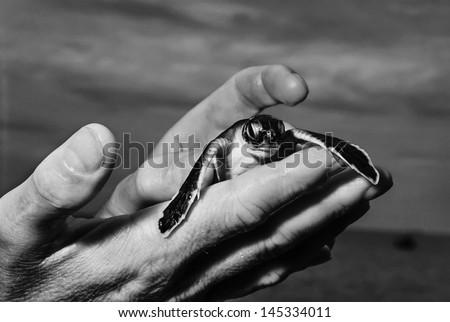 Kenya, Malindi, a just born sea turtle in a sea turtles factory - stock photo