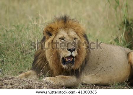 Kenyan Lion - stock photo