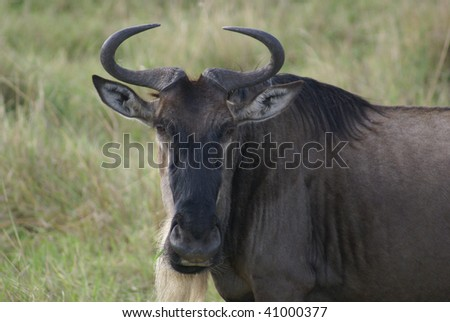 Kenyan Wildebeest - stock photo