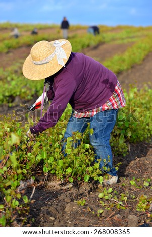 KERN COUNTY, CA - APR 8, 2015: A Mexican woman working in a  San Joaquin Valley vineyard begins early in the morning to pull weeds and trim plants. - stock photo