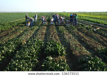 KERN COUNTY, CA - APR 27: Unidentified Mexican farm workers begin the harvesting of spinach on April 27, 2013, in Kern County, California. There is a long growing season and many harvests..
