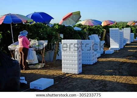 KERN COUNTY, CA - AUG 11, 2015: Mexican-American farm workers set up in a San Joaquin Valley vineyard for a day of packing table grapes into bags and boxes.