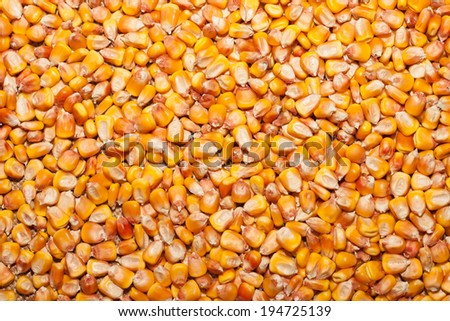Kernel corn beans. Grains of corn close-up. Corn on sacking background. Food and agriculture concept. - stock photo