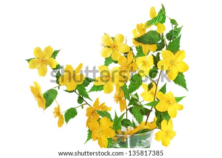 Kerria  Japonica  Yellow wildflowers in vase on white background. - stock photo