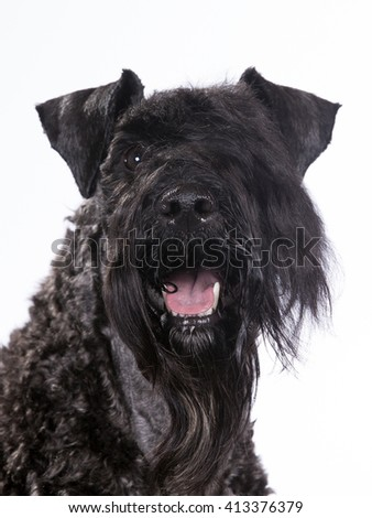 Kerry Blue Terrier New Jersey Stock Images, Royalty-...