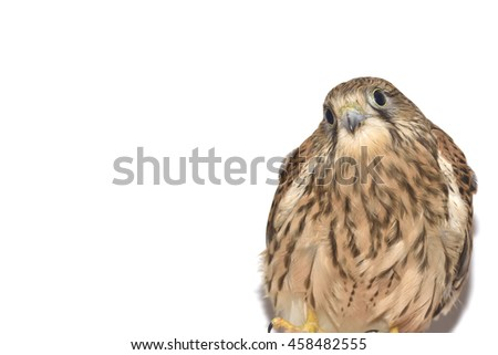 Kestrel ( Falco tinnunculus ) on hand. Isolated on white background
