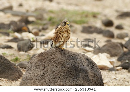 Kestrel (Falco tinnunculus) Perched on a rock - stock photo