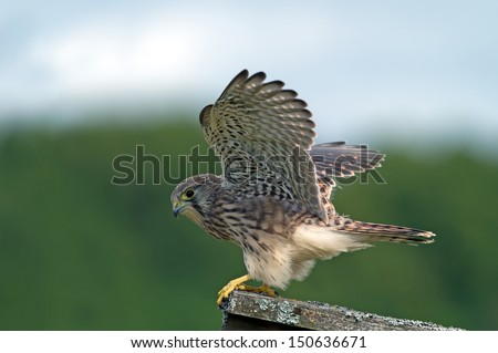 Kestrel (Falco tinnunculus), the juvenile, ready to take off after the last meal of a vole in Uppland, Sweden - stock photo