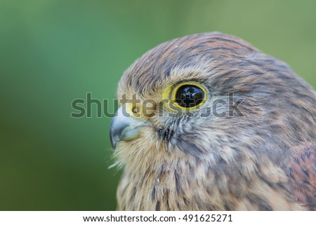 Kestrel Portrait.