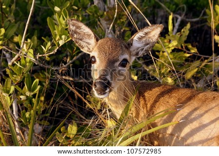 Key Deer - stock photo