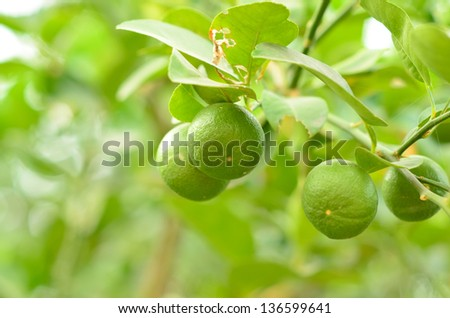 key lime on tree - stock photo