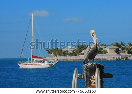 Key west's pelican wait to catch the fish