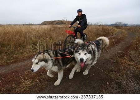 Kharkov, UKRAINE -?? November 15, 2014: Dmitriy Sheremet at Bikejoring with two dogs Men's 3100 m at Sled dogs dry land race Autumn Cup - 2014 - stock photo