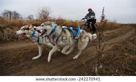 Kharkov, UKRAINE - November 15, 2014: Irina Kasinova at Bikejoring with two dogs Women's 3100 m at Sled dogs dry land race Autumn Cup - 2014 - stock photo