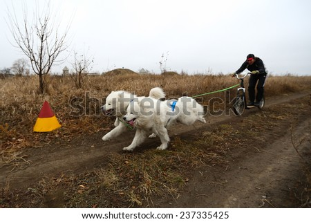 Kharkov, UKRAINE - November 15, 2014: Oleg Kostyuk during Two Dogs Scootering Men's 3100 m at Sled dogs dry land race Autumn Cup �¢?? 2014 - stock photo