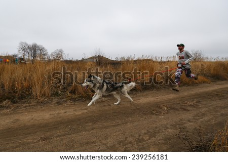 Kharkov, UKRAINE - November 15, 2014: Roman Golovko at canicross heats during Men's 3100 m at Sled dogs dry land race Autumn Cup - 2014