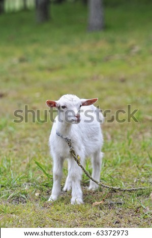 Kid goat portrait