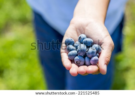 kid's hand full of blueberries, shallow depth of field - stock photo
