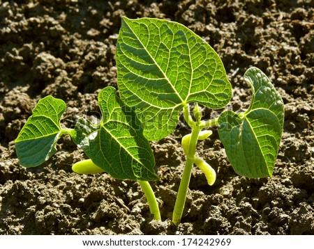 kidney beans seedlings growing on bed - stock photo