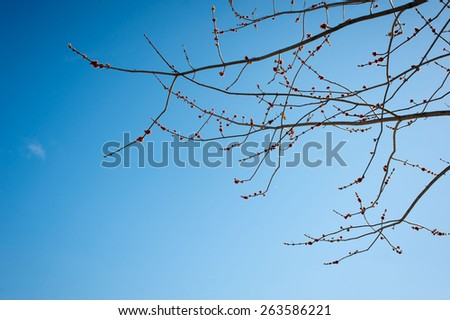 kidney blossoms on a branch against the blue sky
