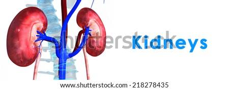 Kidneys - stock photo