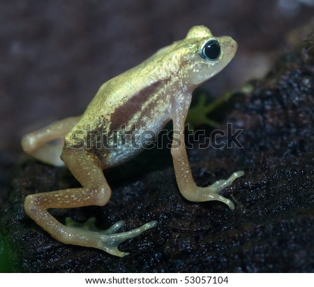 Kihansi Spray Toad from Tanzania. Discovered in 1996, this small toad is near extinction due to dam construction. They live under waterfalls. - stock photo