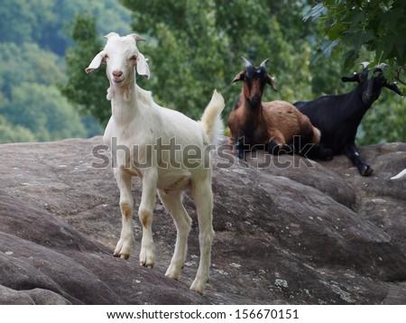 Kiko Goats on the Rocks - stock photo
