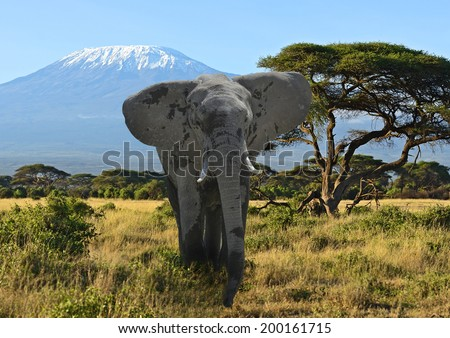Kilimanjaro elephants in Amboseli National Park Kenya - stock photo