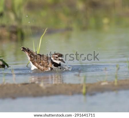 Killdeer Bathing - stock photo