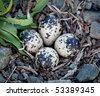 Killdeer birds lay their eggs in gravel on the ground and the birds hatch ready to fly - stock photo