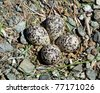 Killdeer birds lay their eggs on the ground by the side of roads and the eggs hatch into fully capable chicks - stock photo