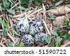 Killdeer eggs that were laid in an unplowed field. Extreme shallow DOF with selective focus on center of eggs. - stock photo