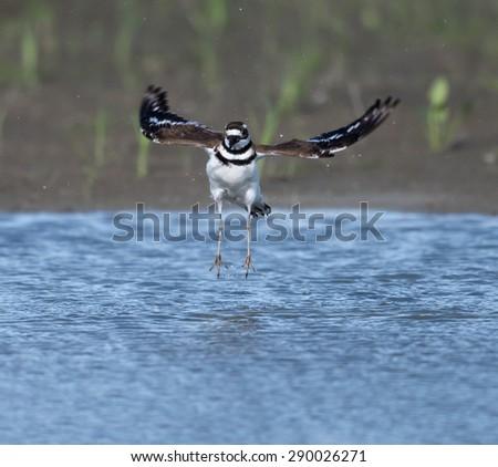 Killdeer in Flight - stock photo