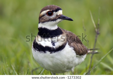 Killdeer in the rain with droplets of water beaded up on it's back and head.  The bird was located in an Ohio pasture.  This is a very sharp photo showing all of the feather detail. - stock photo