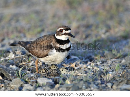 Killdeer Protecting Nest with Eggs