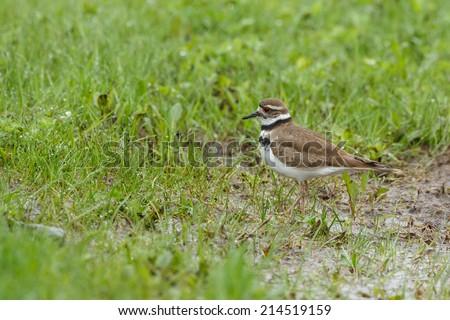 Killdeer standing in wetland - stock photo