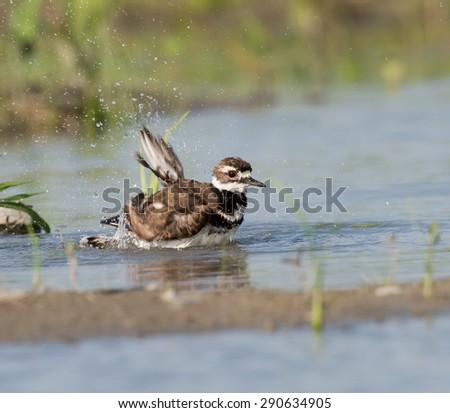 Killdeer Taking Bath - stock photo