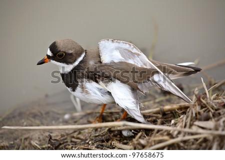 Killdeer with broken wing near Saskatchewan pond - stock photo