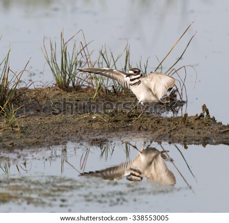 Killdeer with Open Wings and Reflection