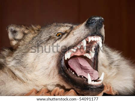 killed wild animal snout taxidermy - stock photo