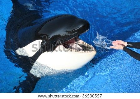 killer whale being watered by hand - stock photo