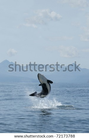 killer whale calf jumping out of the water