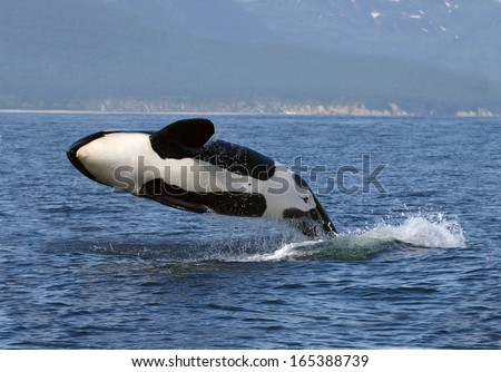 Killer whale female breaching, Kamchatka, Pacific Ocean - stock photo