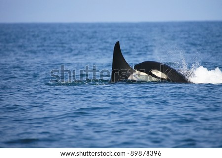 killer whale female traveling with her calf - stock photo