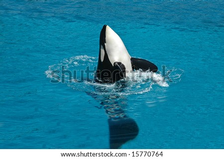 Killer whale floating on water and splashes a lot of water. - stock photo