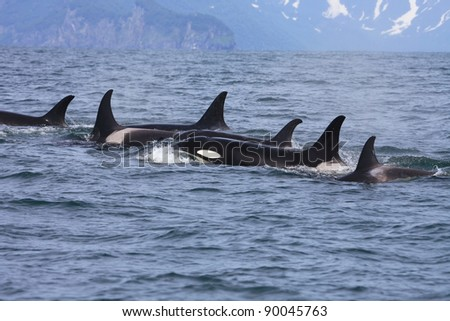 killer whale group traveling in the wild - stock photo