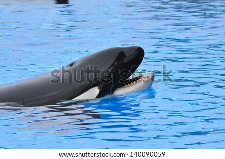 Killer whale head swimming - stock photo