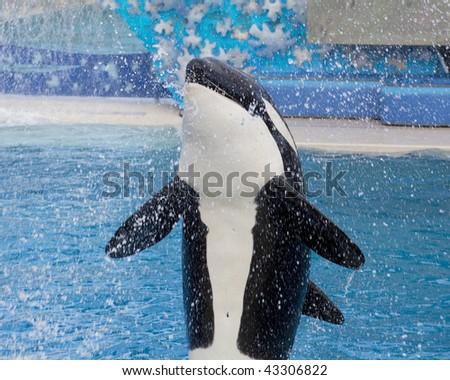 Killer whale in motion splash water - stock photo