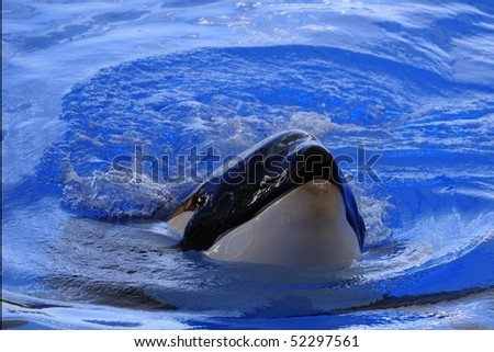 killer whale in te water on a blue background - stock photo