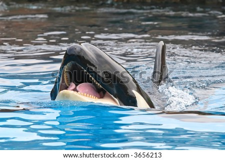 Killer whale in the water - stock photo
